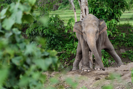 excretion: Baby elephant while excretion in Chiang mai, Thailand.