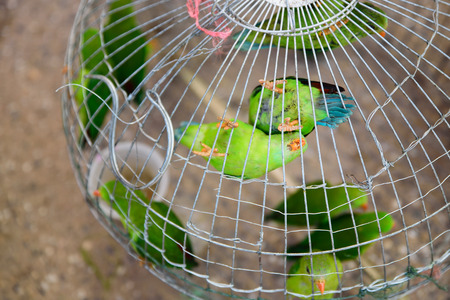 green parrots  is perching in the cage on pet market. Stock Photo