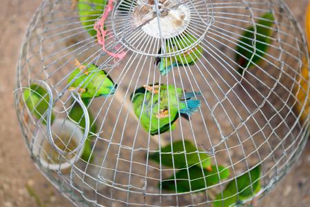 loros verdes: loros verdes es posarse en la jaula en el mercado de mascotas.