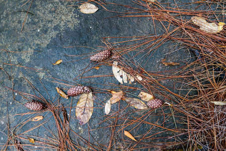 christmas grounds: pine cones on black rock with leaves in the rain forest for background.
