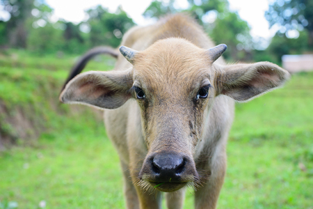 buffalo grass: Young buffalo in the field of grass looking at Photographer with suspicion