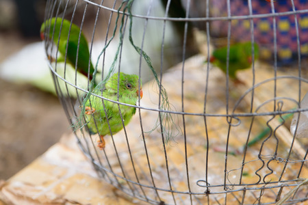 loros verdes: green parrots  is perching in the cage on pet market. Foto de archivo