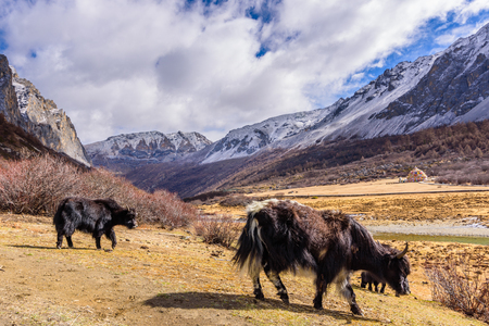 Two brown tibetan yaks in a pasture of snow mountains at Yading nature reserve, China
