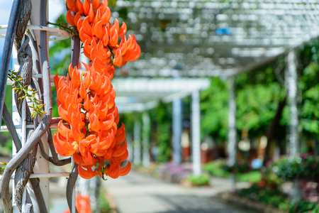 Palas flowers. Bute monosperma flower in Rajapruek park, Chiang Mai, Thailand Stock Photo