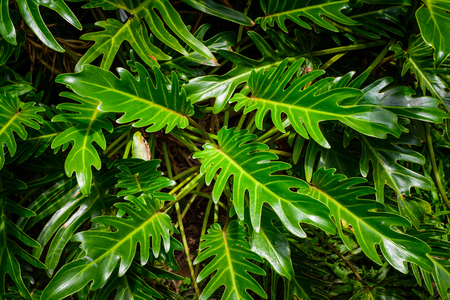 Green leaf texture, pattern leaves on dark and light tone for background