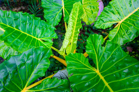 ligh: green caladium leaf and caladium tree with ligh and dark tone. Stock Photo
