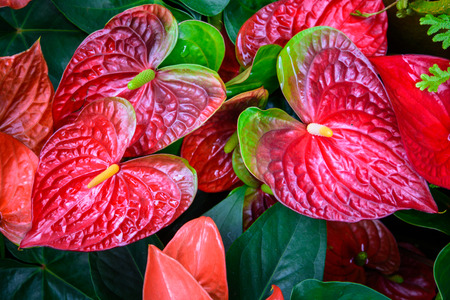 Red and pink anthurium flower also known as tail flower flamingo red and pink anthurium flower also known as tail flower flamingo flower and laceleaf in mightylinksfo