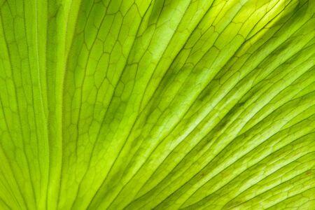 coronarium: Close up view of andinum fern leaf (Platycerium coronarium fern) for background texture. Stock Photo