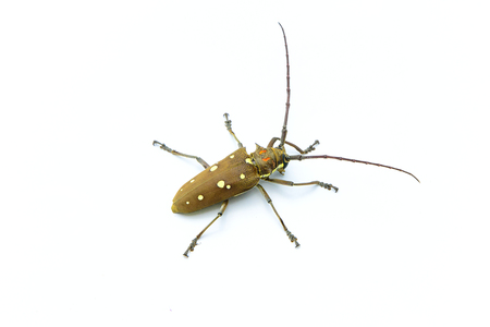 Long-horned Beetle (Dorysthenes walkeri Waterhouse) and wings with yellow polka dots on white background