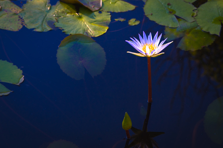 beautiful light purple lotus flower with leaves in pool on dark light and vintage tone with copy space.