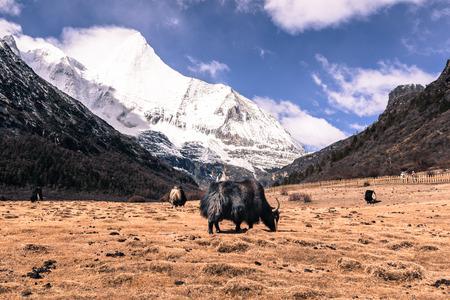 black Himalayan yak at field agains snow mountain at Yading Nature Reserve, China.