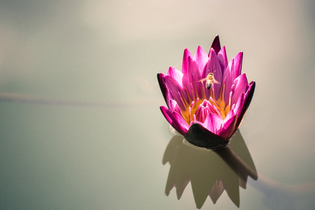 beautiful pink lotus flower with bee flying above on deep blue water surface with vintage tone.