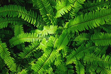 screen savers: great green bush of fern with light and dark tone in the forest for background texture.