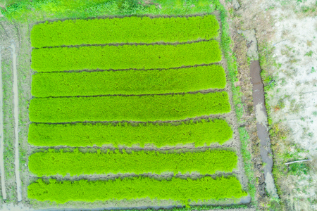 Aerial top view photo from flying drone of green rice fields in countryside Land with grown plants of paddy.