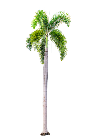field maple: Palm tree isolated on white background with clipping path. Stock Photo