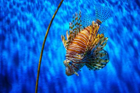 close up lion fish in aquarium with blue background.
