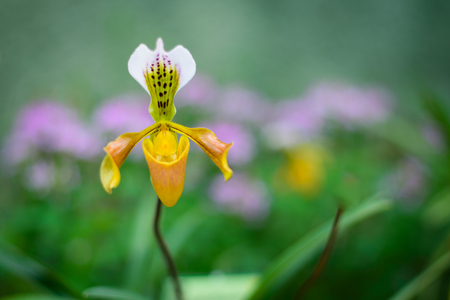 Selective focus of yellow  ladys slipper orchid (Paphiopedilum Callosum). Stock Photo