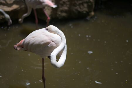Focus in Flamingo birds while sleepy for design in your work animal in nature. 스톡 콘텐츠