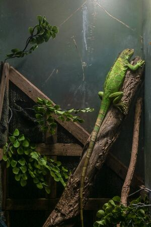 Green Iguana on branch and green leaves in glass tank. 스톡 콘텐츠 - 132267929