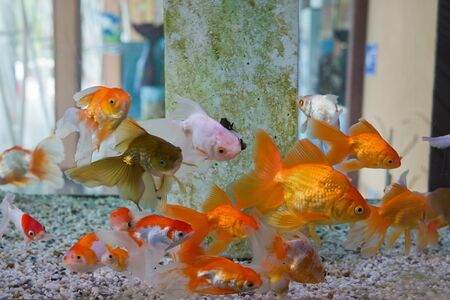Group of gold fish swimming in Aquarium, Fish Tank, with Coral Reef, Animals, Nature. 스톡 콘텐츠 - 132134579