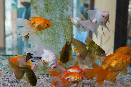 Group of gold fish swimming in Aquarium, Fish Tank, with Coral Reef, Animals, Nature. 스톡 콘텐츠 - 132134611
