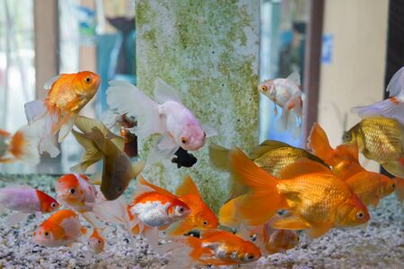 Gruppe von Goldfischen schwimmen im Aquarium, Aquarium, mit Korallenriff, Tiere, Natur. Standard-Bild