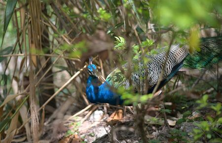 A Male Peacock or Green peafowl while displaying Colorful Plumage for a female during mating season. 스톡 콘텐츠