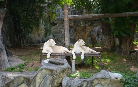 White tiger or lion resting in the zoo. 스톡 콘텐츠 - 132134391