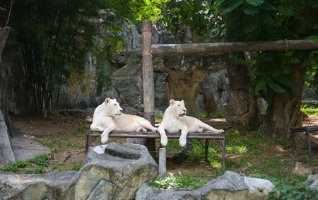 White tiger or lion resting in the zoo. 스톡 콘텐츠 - 132134486