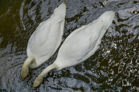 Beautiful two white whooping swans swimming in the lake.