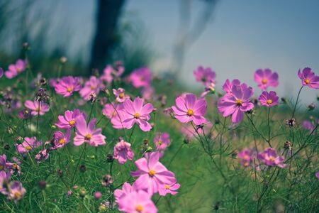 pink cosmos flower blooming in the field, vintage tone soft focus.