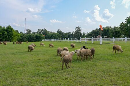 flock of Sheep and goat in a meadow on green grass with sky.