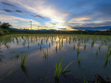 Beautiful view of rice paddy field and clouds during sunset with water-filled rice paddies and reflections of the rising sun on the water surfaces at northern of Thailand.