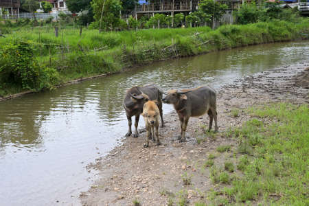 Thai buffalo stained near the river with mountain background,funny animal,Buffalo in the countryside thailand 版權商用圖片