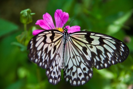 blakc and white butterfly on pink flower