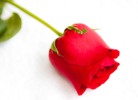 beautiful red rose on white background