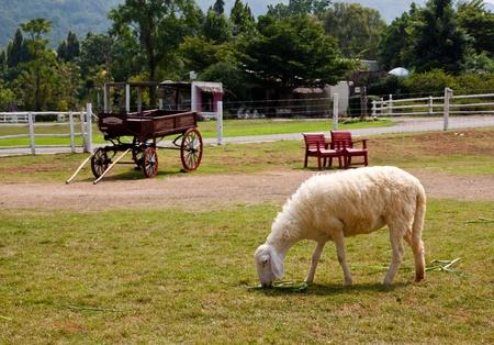 young sheep eating grass in beautiful farm
