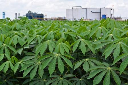 Green cassava garden and Starch factory 版權商用圖片