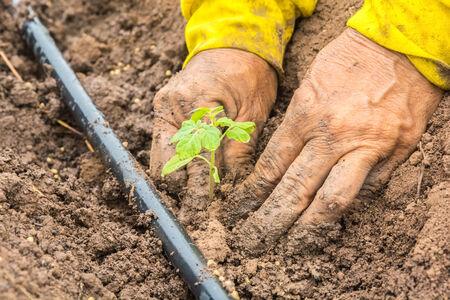 hand of farmers planting a tomatoes seedling 版權商用圖片