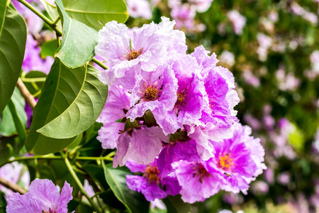 Inthanin, Lagerstroemia floribunda flower photo