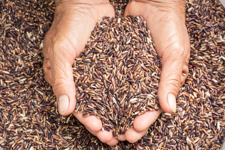 cereals holding hands: raw rice in hands holding Stock Photo