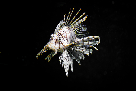 a huge lionfish in the ocean and a dark background