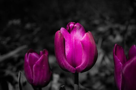 some violet tulips with a black and white background
