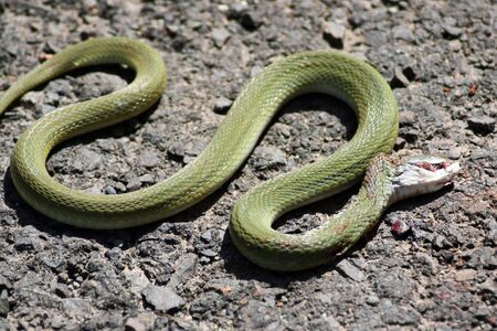 slithering: A green snake slithering wildly as it is dying due to its head bleeding from injuries.