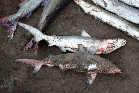 sand shark: Two freshly caught baby sharks lying in the sand of a beach, at an Indian fishermans shop. Shark meat is considered to have medicinal properties. Stock Photo