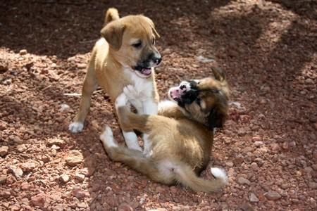 fighting dog: Cuccioli di cane carino giocosamente combattimenti con gli altri. Archivio Fotografico