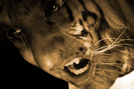 A portrait of a tiger monster  werewolf, snarling angrily. Stock Photo