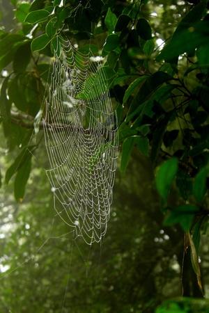 glistening: Una tela de ara�a enorme que brilla en rainwaters en un �rbol de mango, en los bosques tropicales de la India.