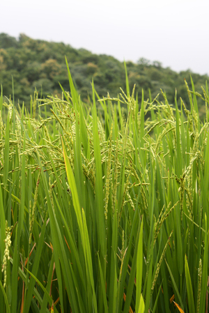 crop harvest: Fresh crop ready to harvest after a good monsoon season in India. Stock Photo