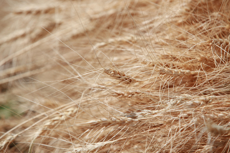 harvested: A background of beautiful harvest of golden organic wheat freshly harvested from the farm. Stock Photo